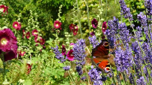 John Clare Cottage peacock butterfly © Froglife