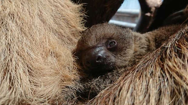 Baby sloth curled up in his mother's arm