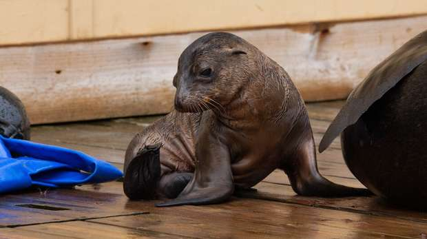 Adorable Maui the sea lion pup at ZSL Whipsnade Zoo
