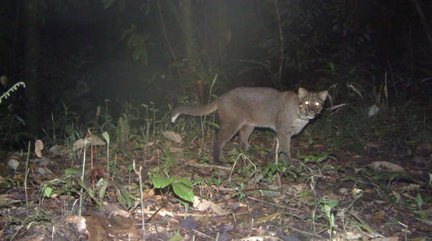 Camera trap image of gray Asiatic golden cat at night
