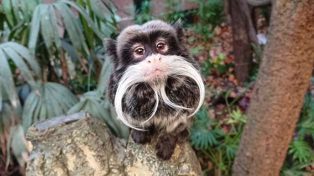 Emperor tamarin at ZSL London Zoo