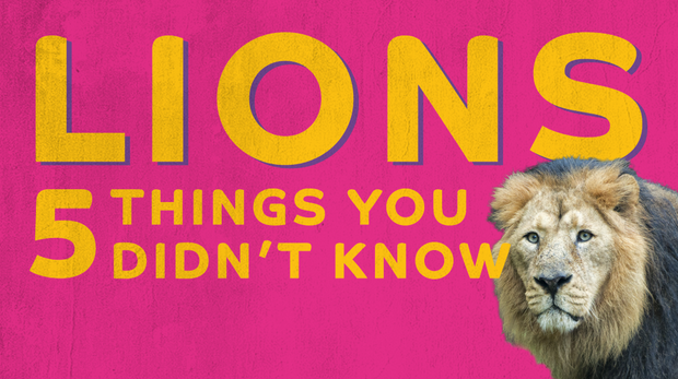 Five things you didn't know about lions