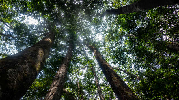 Photograph of forest canopy in Gabon, looking up from the base of a tree