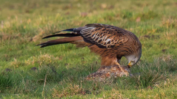 Photograph of a red kite on the ground in a field, feeding