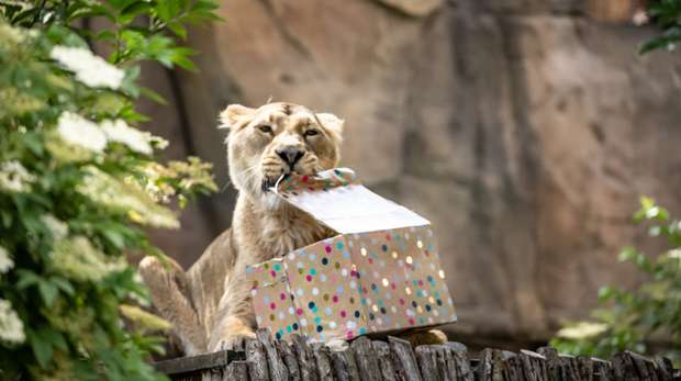 Rubi with her birthday present at ZSL London Zoo
