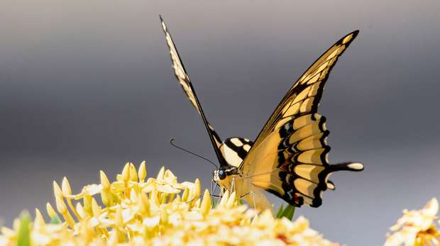 Tropical Swallowtail