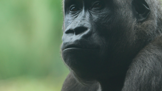 Western lowland gorilla at ZSL London Zoo