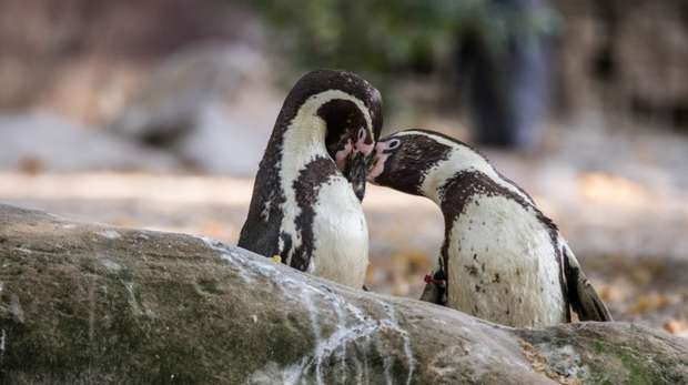 Two penguins in Penguin Beach at ZSL London Zoo