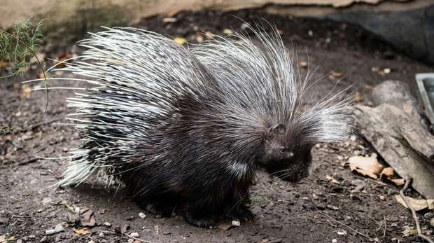 A porcupine at ZSL London Zoo