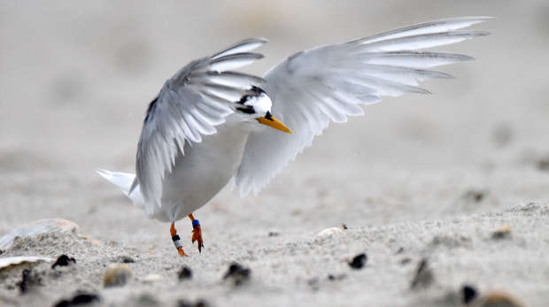 Close up photo of the New Zealand fairy tern, a medium sized bird with white and grey feathers and orange beak, landing on a sandy beach