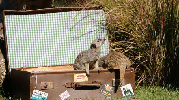 Meerkats moving house at ZSL London Zoo