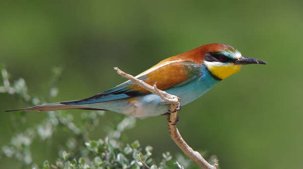 Photo of a European bee-eater, a small colourful bird with orange/brown markings, light blue underbelly and yellow throat.