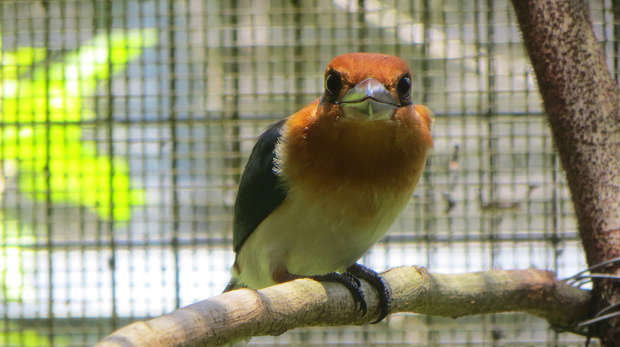 Close up photo a golden brown bird with white belly and black wings, perched on a branch, looking into the camera