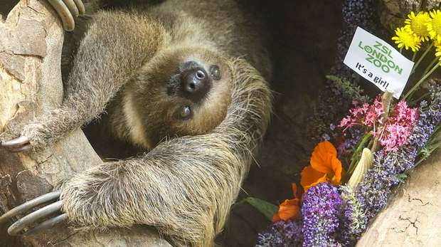 Adorable baby sloth Elio at ZSL London Zoo.