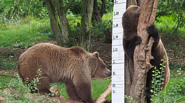 European brown bears Cinderella, Sleeping Beauty and Snow White at ZSL Whipsnade Zoo are measured in the annual weigh in