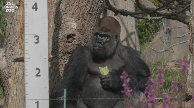 Kumbuka the gorilla at the ZSL London Zoo weigh-in