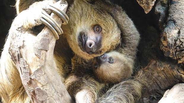 Marilyn the sloth snuggles up with baby Elio at ZSL London Zoo