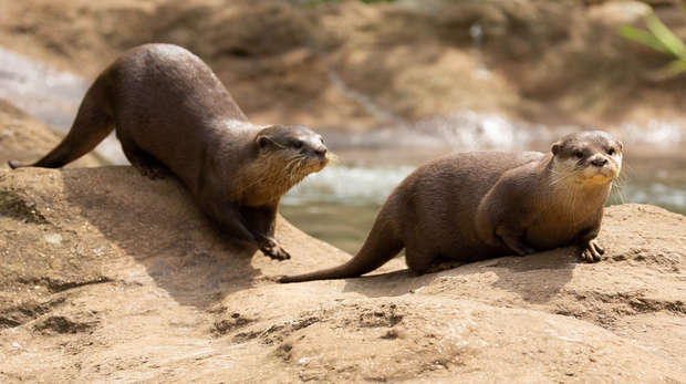 Pip and Matilda are our two adorable new otters at ZSL London Zoo