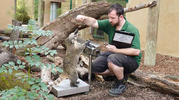 Ring-tailed coati Brush steps onto the scales at ZSL London Zoo
