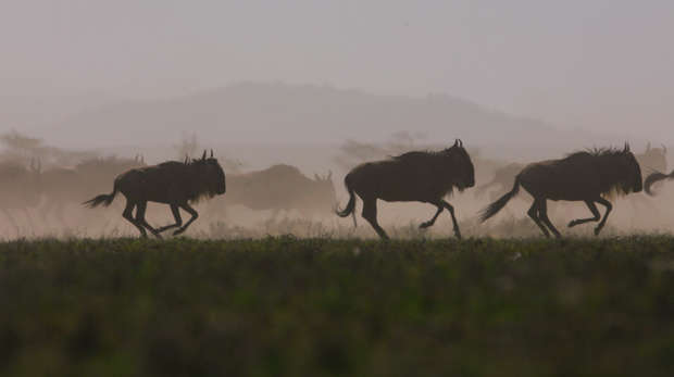 Photo of a herd of wildebeest galloping across a grass plain with mountain in the background.
