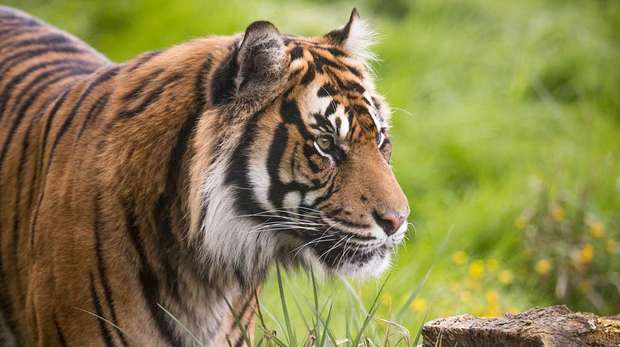 Sumatran tiger Asim at ZSL London Zoo