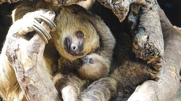 Baby sloth Elio cuddles up to mum Marilyn at ZSL London Zoo