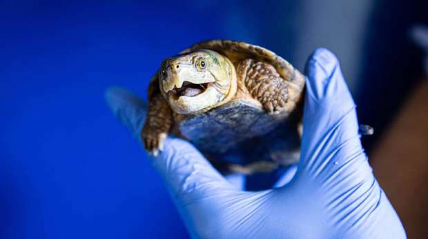 A keeper holds a big-headed turtle at ZSL London Zoo