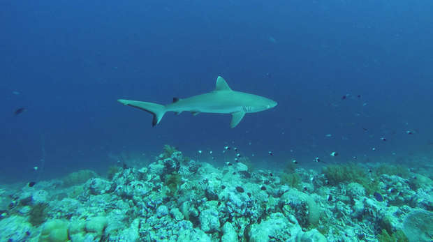 Underwater photo of a shark swimming just above a rocky seabed