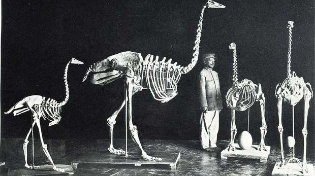 "3 species of elephant birds and an ostrich skeleton (far right), from the National collection at the Queen's palace (The ""Rova"") in Antananarivo, Madagascar, taken by French palaeontologist Charles Lamberton. This collection was burned in a fire in 1990s."