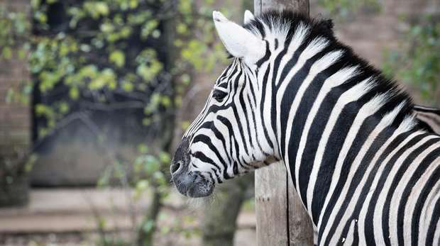 A zebra at ZSL London Zoo