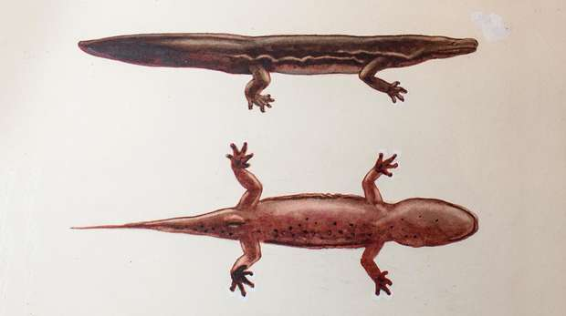 Image - Watercolour illustration (top view and side view) of a Chinese giant salamander