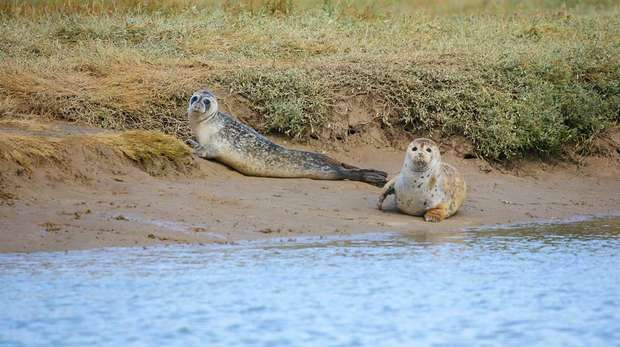 Photo - Two young seals on the sand by the water's edge, looking at camera
