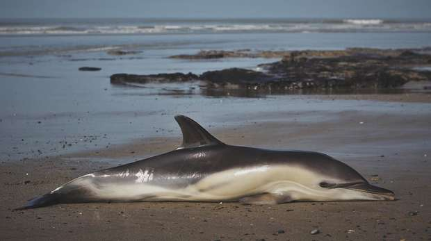 Photo - A common dolphin washed up on a beach with the sea in the background