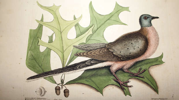 Passenger pigeon fro volume one of Catesby's 'The natural history of Carolina, Florida and the Bahama Islands'.
