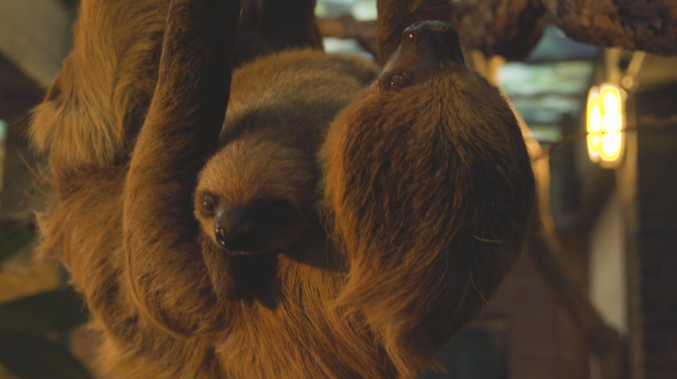 Elio and Marilyn the sloths in Rainforest Life at ZSL London Zoo