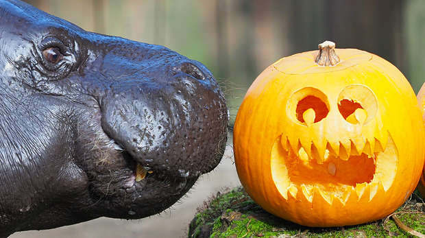 Pygmy hippo with carved pumpkin