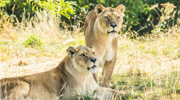 Two african lions resting
