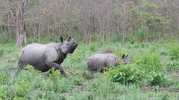 two rhinos in long green grass