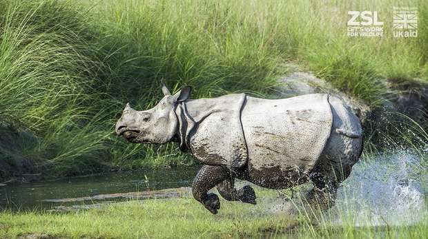 A greater one-horned rhino