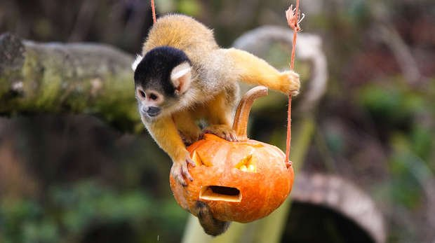 A squirrel monkey enjoys pumpkin treats