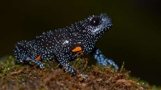 Photo - Close-up of a little black frog with small light blue spots and orange patches on it's underbelly, sat on moss.