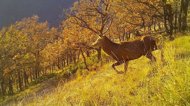 Photo - Camera trap image of a large red deer with antlers, walking through a grassy field with trees in the background