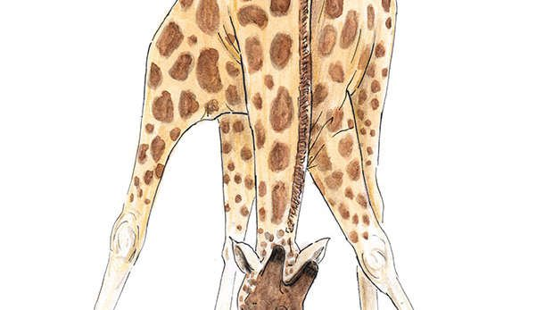 Nuru the giraffe