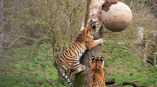 An Amur tiger climbs a tree to get to enrichment