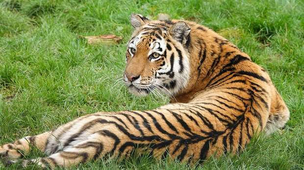 An Amur tiger at ZSL Whipsnade Zoo