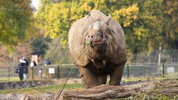 Greater one-horned rhino Hugo at ZSL Whipsnade Zoo