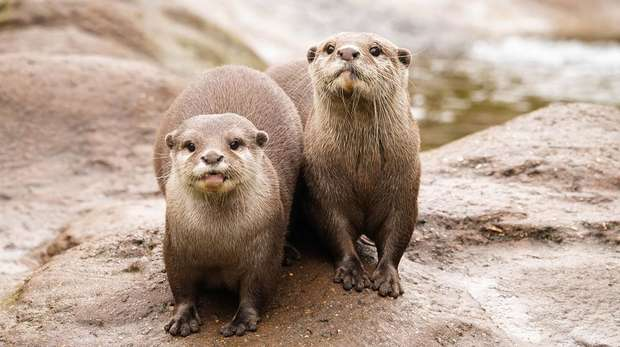 Otters Matilda and Pip at ZSL London Zoo