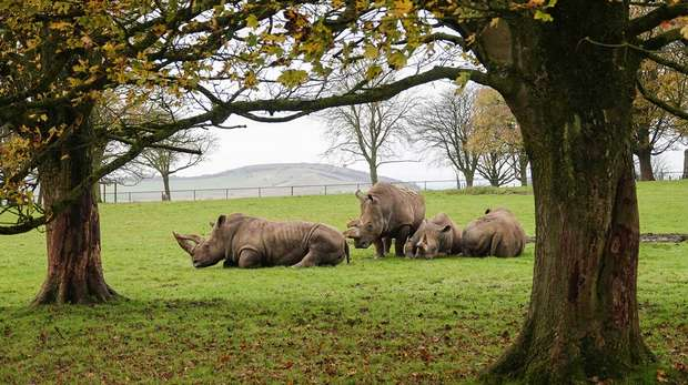White rhinos relaxing in the autumn sunshine at ZSL Whipsnade Zoo