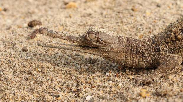 Photo - Close up photo of a small, brown baby gharial on sand.