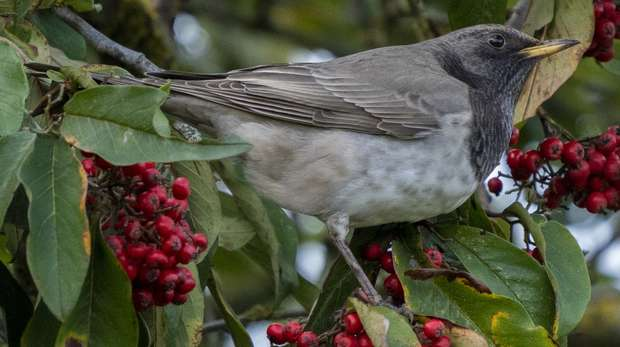 Rare black-throated thrush bird seen at ZSL Whipsnade Zoo